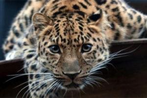 леопарт